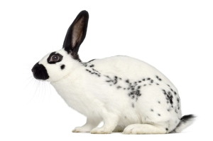 Profile of an English Spot Rabbit isolated on white